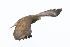 Common buzzard (badger2028) Tags: common buzzard buteo raptor flight flying