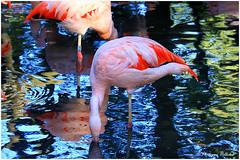 Flamant du Chili © (philippedaniele) Tags: parcdeclères clères seinemartime parczoologique oiseaux flamants flamantrose migration flamantduchili philippehelloin