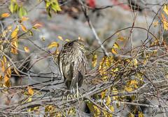 Bihoreau gris immature - Black-crowned Night Heron (Lucie.Pepin1) Tags: oiseaux birds bihoreau heron nature wildlife faune fauna luciepepin canon300mml canon7dmarkii