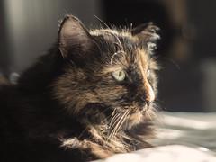 Emmy Girl (Donna Tomlin) Tags: tortiseshell cat helios442 olympusem1 tennesseephotographer