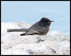 Black Phoebe (Ed Sivon) Tags: america canon nature lasvegas wildlife western wild water southwest desert clarkcounty vegas flickr bird black henderson nevada