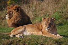 A Lazy Sunny Sunday Afternoon (gareth46233) Tags: lion lions lioness yorkshire wildlife park doncaster ywp