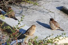 zzzzzz_Sparrow ~ 2019-11-03 @ BHX (4) (www.EGBE.info) Tags: birminghamairport bhx egbb cvtwings planespotting davelenton httpwwwegbeinfo canoneos750d 03112019 wildlifestudies