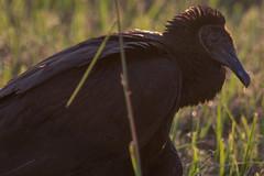 IMG_1901 (armadil) Tags: florida landingroad bird birds kenansville vulture blackvulture