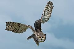 Gufo canadese (marypink) Tags: bubovirginianussubarcticus gufocanadese rapacenotturno gufo owl aves strigiformes greathornedowl nikond500 nikkor80400mmf4556