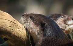 Tired (Millie Cruz (On and Off)) Tags: otter wet swimming basking animal mammal zoo smithsoniannationalzoo washingtondc whiskers milliecruz canoneosrebelt6i ef70300mmf456isiiusm