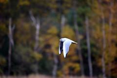 Basingstoke Canal Ash - Ash Vale 3 November 2019 018 (paul_appleyard) Tags: gull tern basingstoke canal ash flying november 2019 wings