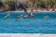 2019.10.30.7960 Pelican Scrum (Brunswick Forge) Tags: 2019 florida grouped day sunny air sky clear staugustine autumn nikond500 nikkor200500mm animalportraits pictureoftheday nature wildlife animal animals bird birds water river matanzasriver matanzasinlet crescentbeach inmotion flight flying commented favorited