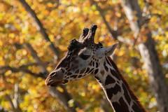 A Giraffe in Autumn (FocusPocus Photography) Tags: giraffe bäume trees herbst autumn fall laub foliage zoo wilhelma