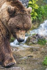 Walking close to the waterfall (Tambako the Jaguar) Tags: brown bear close portrait face walking paw waterfall way water vegetation salzburg zoo austria nikon d5