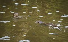 A Mum's Encouragement❤️ (Fourteenfoottiger) Tags: lutralutra eurasianotter otter wildanimal wildotter ottercub parent river swimming wildlife britishwildlife britishcountryside behaviour mustelid semiaquaticmammal nature