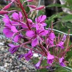 Willowherb (timo_w2s) Tags: helsinki finland summer kruunuvuorenranta flowers purple willowherb pink