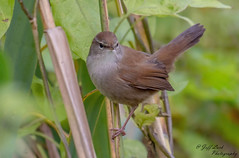JWL1937  Cetti's Warbler.. (Jeff Lack Wildlife&Nature) Tags: cettiswarbler cettis avian animal animals birds bird birdphotography wildlife wildbirds wetlands wildlifephotography jefflackphotography songbirds waterways warbler warblers reservoirs reeds reedbeds marshland marshes lakes ponds hedgerows heathlands countryside nikon naturephotography nature ornithology