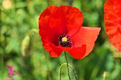 P1010964 (alainazer) Tags: rousillon vaucluse provence france fiori fleurs flowers colori colors couleurs coquelicot poppy papavero
