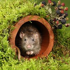 Brown Rat - Rattus norvegicus (Roger Wasley) Tags: brown rat rattusnorvegicus common norway norwegian rodent macro