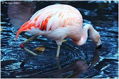 Flamant du chili © (philippedaniele) Tags: parcdeclères clères seinemartime parczoologique oiseaux flamants flamantrose migration philippehelloin flamantduchili