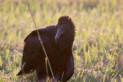 IMG_1893 (armadil) Tags: florida landingroad bird birds kenansville vulture blackvulture