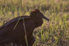 IMG_1899 (armadil) Tags: florida landingroad bird birds kenansville vulture blackvulture