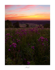 Glowing Thistles (Max Angelsburger) Tags: weroamgermany summer warm evening abend blumenwiese flower meadow rot afterglow red pink purple blumen tal nachglühen orange hour colorful distel thistel glowing valley europe germany badenwürttemberg wurmberg july 2019