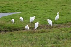 Cattle egrets (PhotoCet) Tags: photocet norfolk bird birds egret cattleegret