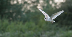 Barn Owl (KHR Images) Tags: barnowl barn owl tytoalba wild bird birdofprey inflight flying hunting dusk cambridgeshire fens wildlife nature nikon d500 kevinrobson khrimages