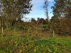 Llanthony Show hedging match Nov 2nd 2019 (Keep Wales Tidy) Tags: hedge laying monmouthshire llanthony ccv