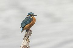 Male Kingfisher (ejwwest) Tags: