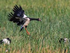 Magpie Goose (Anseranas semipalmata) (Arturo Nahum) Tags: arturonahum magpiegoose anseranassemipalmata australia queensland bird inflight birdinflight birdwatcher nature animal outdoor