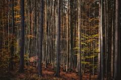 A healty mixed forest (ramerk_de) Tags: bavarianforest bayerischerwald mischwald schachten germany forest trees bavaria