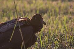 IMG_1897 (armadil) Tags: florida landingroad bird birds kenansville vulture blackvulture