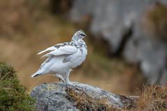Alpenschneehuhn (wsprecher) Tags: alpen alpenschneehuhn gebirge rauhfusshühner rheintal wildlife wsnaturpic lagopus muta ngc