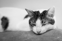 Max (DavidB1977) Tags: cat katze chat max monochrome bw nb nikon d610 85mm