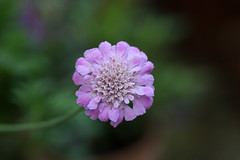 Scabious (SReed99342) Tags: london uk england scabious flower