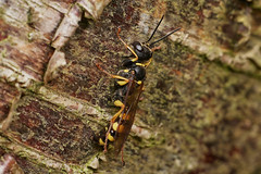 Photo of field digger wasp, Mellinus arvensis, female