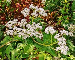 Parthenium integrifolium; Asteraceae (1a) (pflanzenflüsterer) Tags: asteraceae parthenium partheniumintegrifolium botanicalgarden braunschweig niedersachsen germany usa staude laubwerfend rispe prärie wiese waldrand weis white