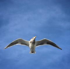 Above Seattle (Karol Franks) Tags: seagull bremerton seattle ferry sea sky flying birdseye view