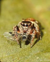 Jumping spider with prey. (eerokiuru) Tags: jumpingspider hüpikämblik spider insect macro nature wildlife p900 nikoncoolpixp900 raynoxdcr250 eesti estonia