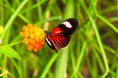 Heliconiusvlinder (Ralph Apeldoorn) Tags: butterfly heliconiusmelpomene heliconiusvlinder vlinder vlindertuin vlindorado waarland noordholland nederland