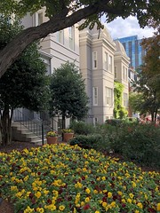 Pansies blooming, houses on 19th Street NW, Washington, D.C. (Paul McClure DC) Tags: washingtondc districtofcolumbia nov2019 dupontcircle tree flower historic architecture