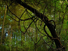 Vines (surfcaster9) Tags: vines leaves cypresstrees green outside nature lumixg7 lumix20mmf17llasph outdoors florida