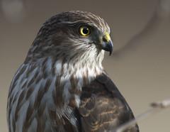 Hawk profile (Jan.Timmons) Tags: wildandfree nikkor500f4lens nikon17teleconverter pacificnorthwest sharpshinnedhawk outdoors outside naturephotography phototherapy perched rotatehead accipiterstriatus coopershawk accipitercooperii hawk raptor smallraptorofsomekind