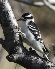 downy woodpecker (material guy) Tags: downywoodpecker rachelcarsonnwr timberpoint biddeford maine