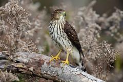810_3632. Cooper's Hawk (laurie.mccarty) Tags: hawk coopershawk raptor bird animal bokeh nature naturephotography