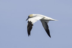 northern gannet (material guy) Tags: northerngannet andrewspoint rockport massachusetts