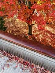 Millennium Park in Fall (cshimala) Tags: chicago fall autumn leaves illinois yellow ornage red green city enjoyillinois fallcolors autumncolors color coloful eaf park citypark tree trees ground covered googlepixel googlepixel4 millenniumpark