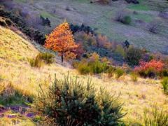 Hillside maples in Autumn (PhilZeno) Tags: maple tree vegetation autumn hillside grass sunlight colours