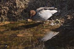 Australian Wood Duck (Luke6876) Tags: australianwoodduck woodduck duck bird animal wildlife australianwildlife nature water reflection