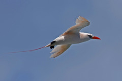 Red-tailed Tropic bird (bevanwalker) Tags: d750 nikon lens 300mmf28tc17e11 bird sky light time moment summer photography outdoor nature tropic wildlife flight beak red feathers white colour image wing eye sunshine cliff sea beautifulbirds paradise 2019 spring