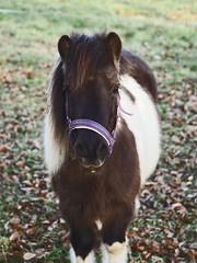 Horse Bokeh | 17. Februar 2019 | Tarbek - Schleswig-Holstein - Deutschland (torstenbehrens) Tags: horse bokeh | 17 februar 2019 tarbek schleswigholstein deutschland olympus penf 7xef53213mm f32