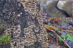Harilik suitsik; Bjerkandera adusta; tuhkakääpä (urmas ojango) Tags: seened fungi polyporales torikulaadsed meruliaceae bjerkandera suitsik hariliksuitsik bjerkanderaadusta tuhkakääpä